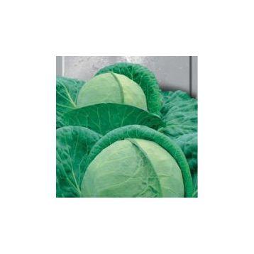 Ярославна семена капусты б/к поздней (Свитязь)