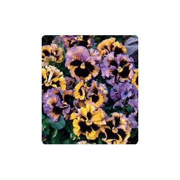 Карусель Yellow / Blue семена фиалки (Kitano Seeds)