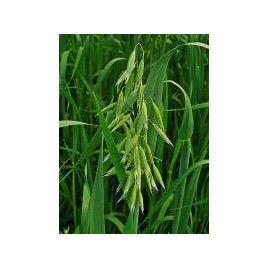 Овес семена (Украина)