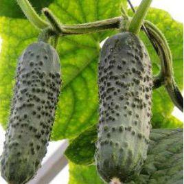 семена огурца бакшиш f1