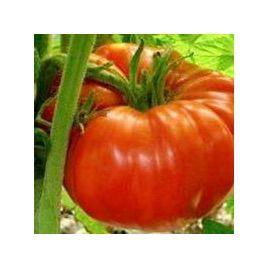 Роциоло F1 семена томата индет. (United Genetics)