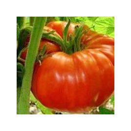 Роциоло F1 (Ричиоло F1) семена томата индет. среднераннего окр.-припл. 300-500 гр. (United Genetics)