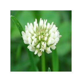 Клевер белый семена (Украина)