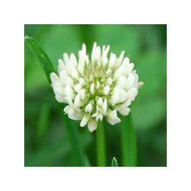 Клевер белый (медонос/кормов./сидерат/газон) семена (Украина)