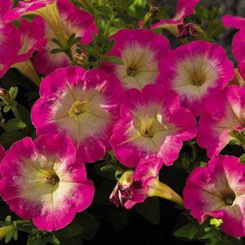 Пикобелла F1 розовое утро семена петунии миллифлора (Syngenta)