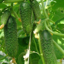 Мурашка F1 семена огурца партенокарп. раннего 43-47 дн. 10-12 см (Гавриш)