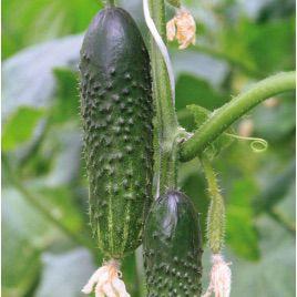 Мажор F1 семена огурца партенокарп. раннего 42 дн. 12-14 см (Гавриш) НЕТ СЕМЯН