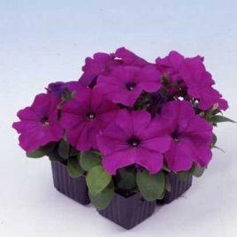 Мамбо F1 фиолетовая семена петунии (Hem Zaden)