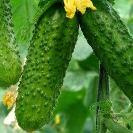 семена огурца веласко f1