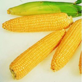 Брусница семена кукурузы сахарной Se средней 82-90 дн. 12-16р. (Украина)