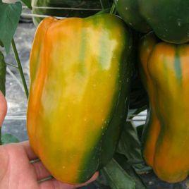 Мохай F1 семена перца сладкого тип Ламуйо среднего 80 дн. удл.куб. зел./желт. (Esasem)