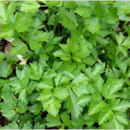 Верде ди Таглио семена сельдерея листового (SAIS)