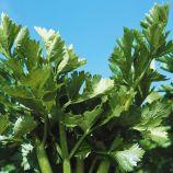 Сенеж семена сельдерея листового (Гавриш)