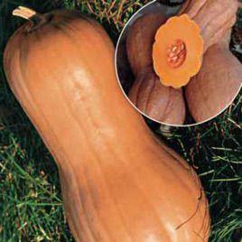 Виолина семена тыквы мускатной (Euroseed)