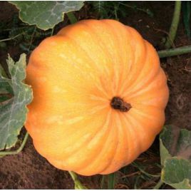 Гилея семена тыквы крупноплодной (Свитязь)