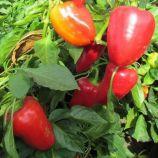 Савио F1 семена перца сладкого тип Блочный среднего 115-120 дн. корот.куб 230-250г 10х10см 6мм зел./красн. (SAIS)