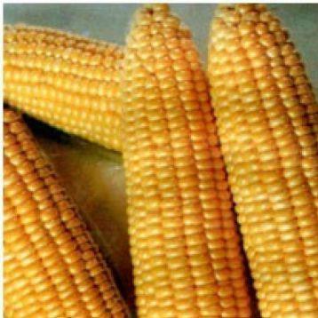 Танем F1 семена кукурузы суперсладкой (May Seeds)