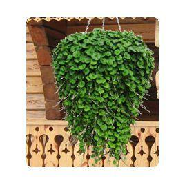 Пенелопа Green семена дихондры дражированные (Kitano Seeds)