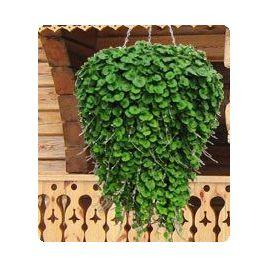 Пенелопа Green семена дихондры дражированные (Kitano Seeds) НЕТ СЕМЯН