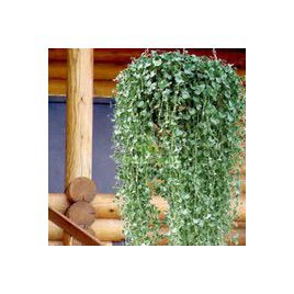 Вивьен Silver семена дихондры (Kitano Seeds)