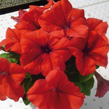 Лимбо F1 красная семена петунии грандифлора (Hem Zaden)