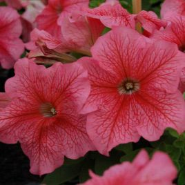 Лимбо F1 красная с прож. семена петунии грандифлора (Hem Zaden)