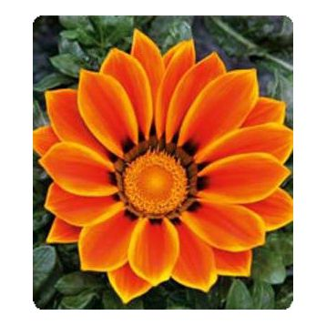 Газания Пилигрим Orange Star