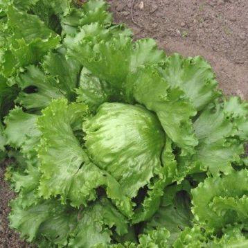 Королева лета семена салата (Элитный ряд)