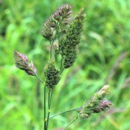 Грясница (Ежа) семена гороха раннего (Украина)
