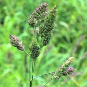 Грястиця (Ежа) семена (Украина)