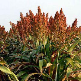 Суданская трава (кормов.) семена (Украина)