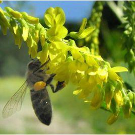 Донника (медонос) семена (Украина СДБ)
