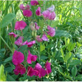 Пелюшка семена гороха (Украина)