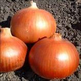 Копер Бол F1 семена лука репчатого среднего (United Genetics)