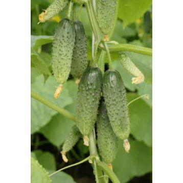 семена огурца каналья f1
