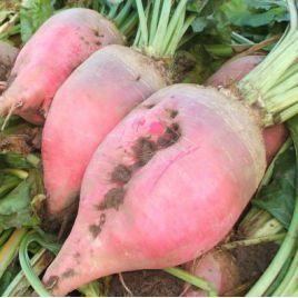 Рекорд семена розовой свеклы кормовой (Польша)