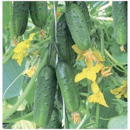 Младший лейтенант F1 семена огурца партенокарп. 10-12 см (Элитный ряд)
