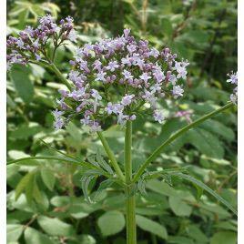 Валерьяна лекарственная семена (GL Seeds)