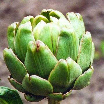 Грин Глоуб семена артишока зеленого (GL Seeds)