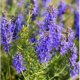 Иссоп лекарственный семена (GL Seeds)