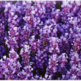 Лаванда крымская многолетняя семена (GL Seeds)