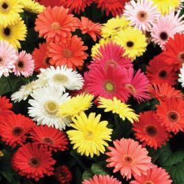 Коррида Mix семена герберы (Kitano Seeds)
