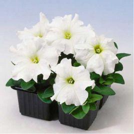 Лимбо F1 белая семена петунии грандифлора (Hem Zaden)