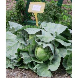 Зенит F1 (Zennith F1) семена капусты б/к ультраранней 55-60 дн 1,5-2 кг (Seminis)