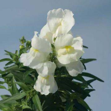 Снеппи F1 белый семена антиринума карликового (Hem Zaden)