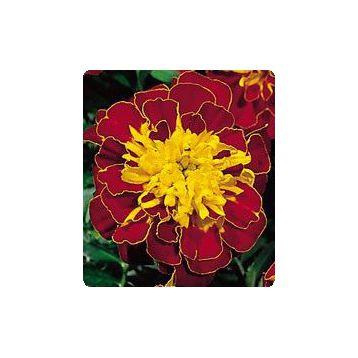 Бархатцы Наоми Red / Yellow