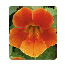 Окинава Orange семена губастика крупноцветкого дражированные (Kitano Seeds)
