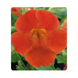 Окинава Red Shades семена губастика крупноцветкого дражированные (Kitano Seeds)