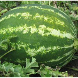 Вилд Хоней F1 семена арбуза тип Кримсон Свит среднераннего 8-10 кг (Erste Zaden) НЕТ ТОВАРА