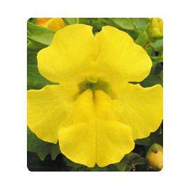 Окинава Yellow семена губастика крупноцветкого дражированные (Kitano Seeds)